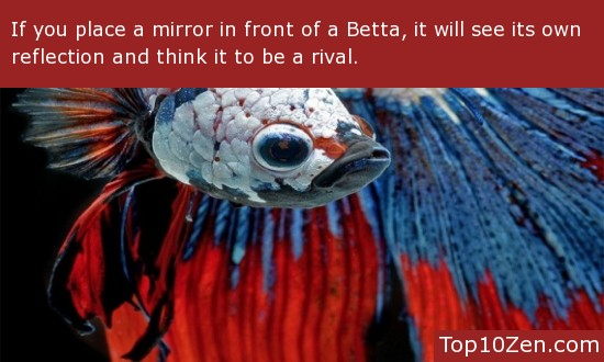 Bettas Can Be Fooled By Mirrors, Believing Their Reflection To Be a Rival