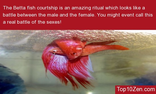 The Betta Courtship Ritual Is Aggressive
