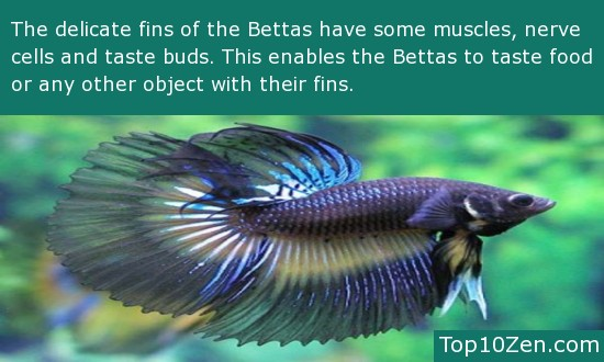 Betta Fins | 20 Interesting Betta Fish Facts To Better Know Your Betta Page 2