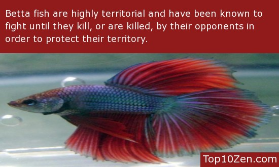 Betta Fish Facts | 20 Interesting Betta Fish Facts To Better Know Your Betta Page 4