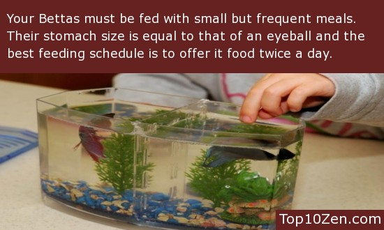 Feeding Your Betta - Frequent Meals Are Better