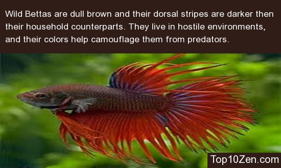 Wild Betta Fish Are Very Different From The Household Variety