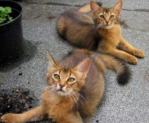 10 Cutest Cat Breeds In The World Page 3 Top10zen