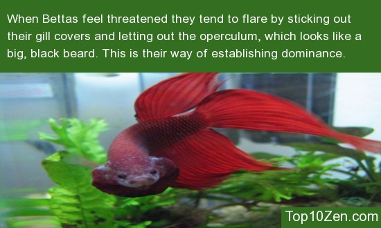 Male Bettas Often Flare At Each Other To Establish Dominance