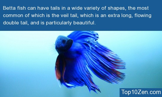 Betta Fish Sport a Large Variety Of Diverse Tail Shapes