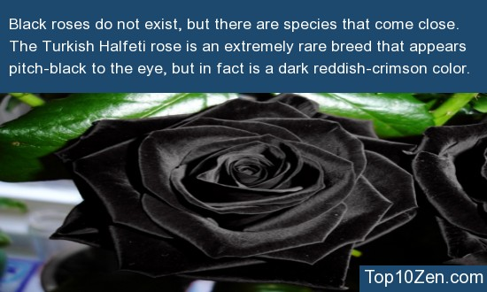 Black Roses Are An Illusion Of The Mind, And Don't Exist
