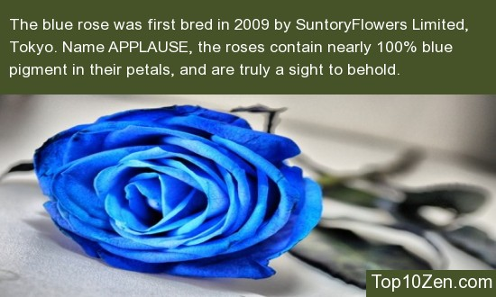 2009 Marks The Arrival Of The First Blue Rose By Suntory Flowers Limited, Tokyo