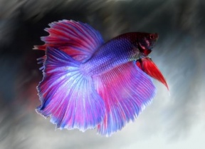 Betta Fish Are Bred In Many Strains of Colors