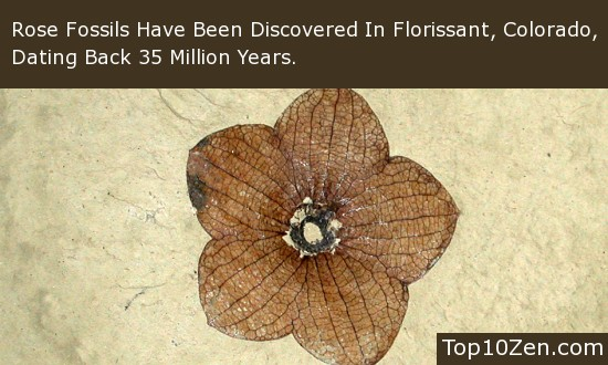 Rose Fossils Have Been Discovered Dating Back 35 Million Years